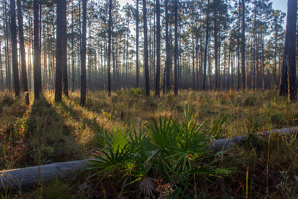 Longleaf pine forests, like this one in the Florida panhandle, boast some of the highest concentrations of flowering plants found in the temperate world. A staggering 60 species were counted in a one square meter plot in southern Mississippi.