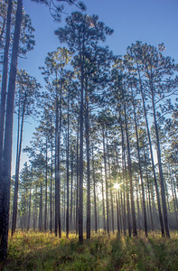 You're looking at North America's most biodiverse forest: the longleaf pine forest, relegated primarily to the Deep South. Some of the largest tracts are found in northwest Florida, including this patch in Blackwater River State Forest. Other large tracts include Apalachicola National Forest, Eglin Air Force Base, and Conecuh National Forest in southern Alabama.