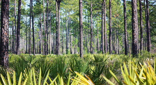The understory of Apalachicola National Forest, in the Florida panhandle, is often dominated by saw palmetto (serenoa repens), creating an interesting contrast.
