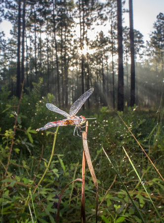 A dragonfly lies dormant as it waits for the rising sun to dry its wings, when it will take flight in search of insects, a highly abundant commodity in longleaf pine forests.