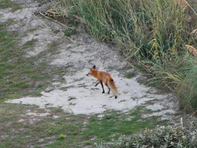 our Sanibel local beach fox, she had three kits this spring!