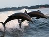 Wild Bottlenose Dolphins having a blast