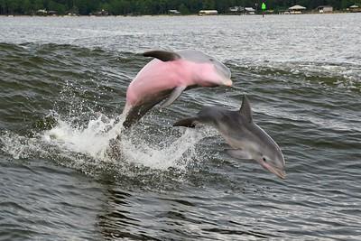 Wild bottlenose dolphins, mom & baby