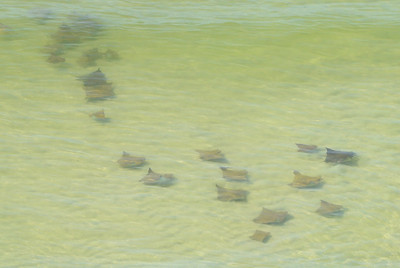 A school of cownose stingrays gracefully gliding by on a clear day - as seen from 20th floor balcony of Turquoise Place