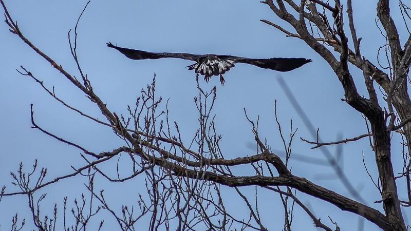 Gulls & Eagle