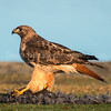 Red-tailed Hawk on its Kill