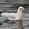 Black-headed Gull  -  Hættemåge