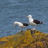 Great Black-backed Gull - Svartbag