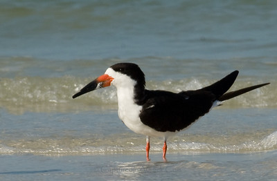 Black Skimmer Black Skimmer