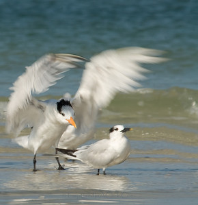 Royal Terns - Boo!