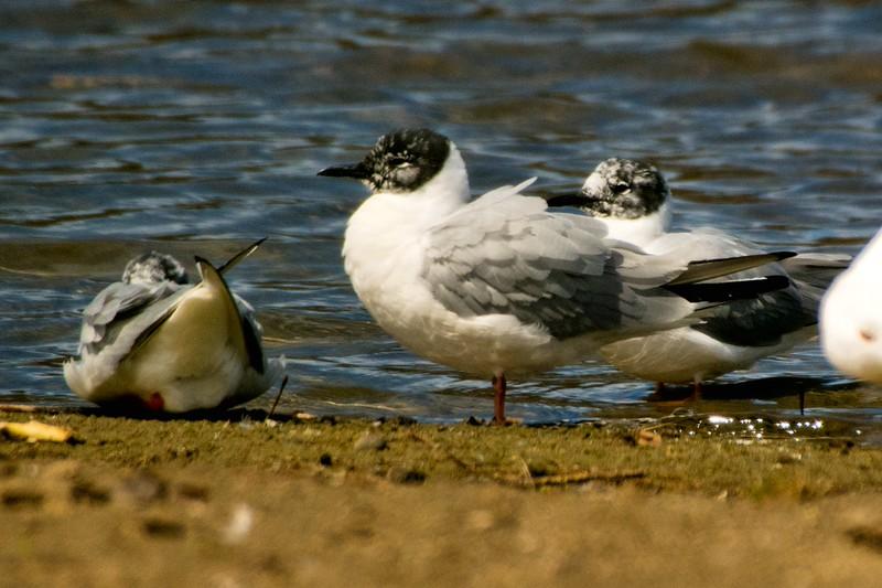 Bonaparte's Gull, Collins Lake, Scotia, NY 4-14-15