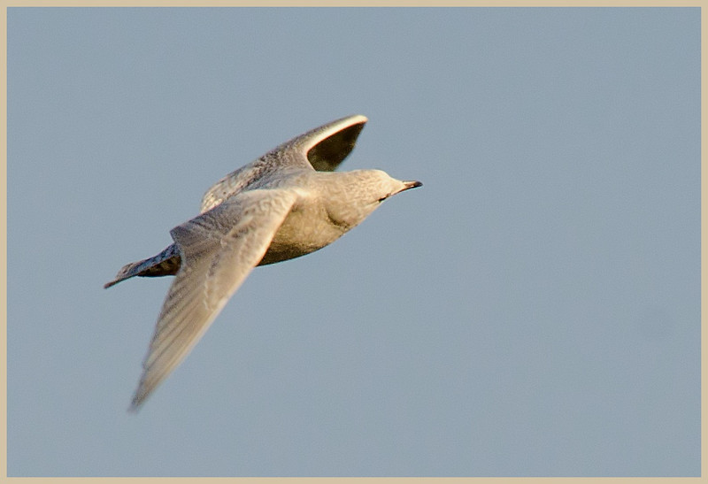 Glaucous Gull, Cresent NY, 2-14-13