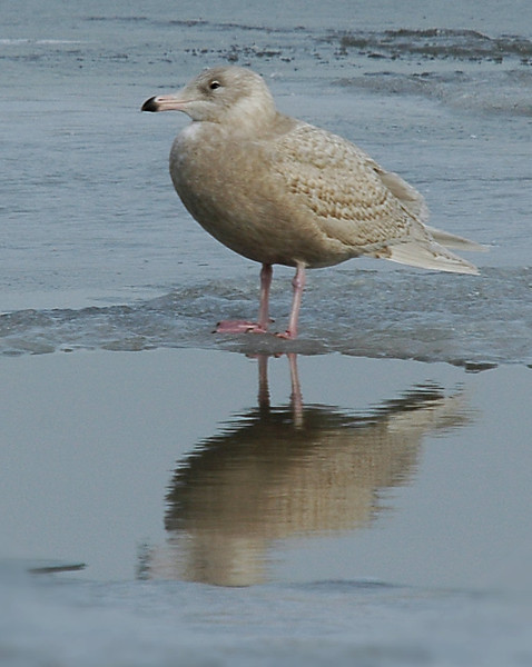 Glaucous Gull, Cresent, NY 2-2008