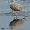 Glaucous Gull, Cresent, NY 2-2008