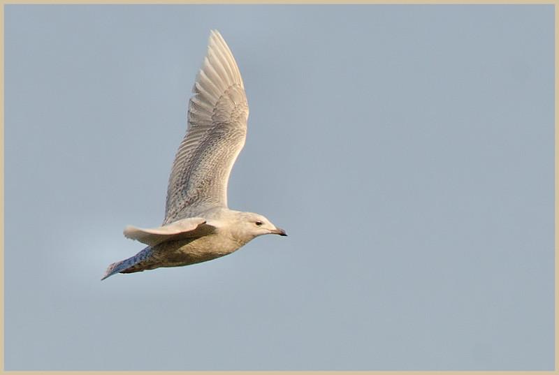Glaucous Gull, Cresent NY, 2-14-13