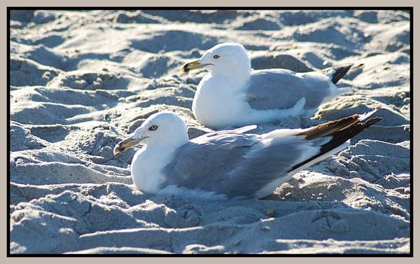 Ring-billed Gulls, Atlantic City, NJ on the beach