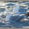 Ring-billed Gulls, Atlantic City, NJ on the beach
