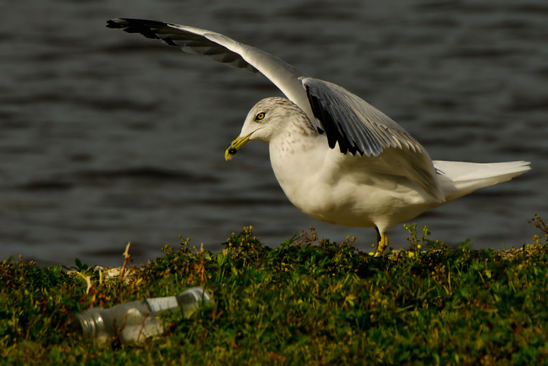Ring-gilled Gull, Cresent Power House, 10-21-13