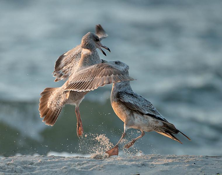 squabbling herring gulls