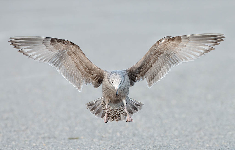 herring gull probable 1st cycle