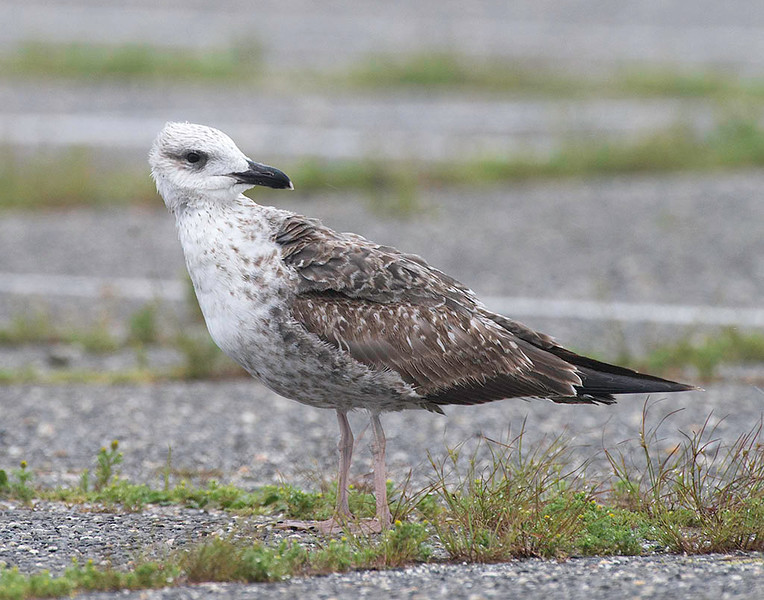 lesser black-backed gull probable 1st cycle