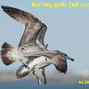 herring gulls prob 2nd cycyle scuffle