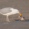 herring gull yellow tint legs