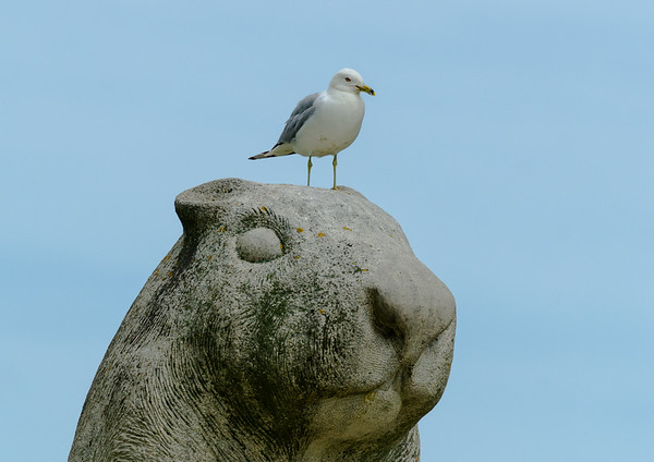 seagull on statue of Wiarton Willie