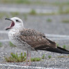 lesser black-backed gull 1st cycle