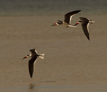 Black Skimmer  South Padre Island Texas 2012 03 20-2354.CR2
