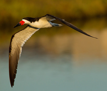 Black Skimmer  Bolsa Chica 2013 08 22 (2 of 6).CR2