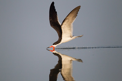 Black Skimmer San Joaquin Wildlife Sanctuary 2016 07 30-2.CR2