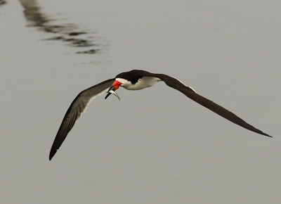 Black Skimmer  Bolsa Chica Huntington Beach  California 2013 09 06 (7 of 11).JPG