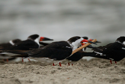 Black Skimmer  Mission Bay 2013 11 15.CR2
