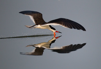 Black Skimmer San Joaquin Wildlife Sanctuary 2016 07 30-5.CR2