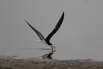 Black Skimmer Imperial Beach 2018 07 16-5.CR2