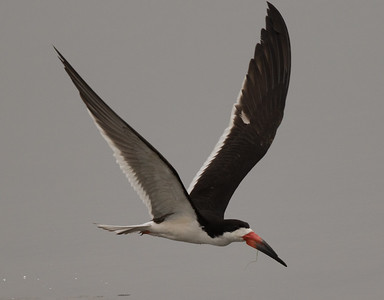 Black Skimmer Imperial Beach 2018 07 16-7.CR2
