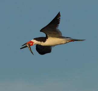 Black Skimmer  Bolsa Chica 2013 08 22 (5 of 6).CR2