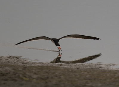 Black Skimmer Imperial Beach 2018 07 16-1.CR2