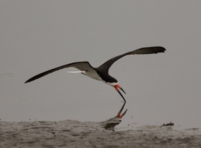 Black Skimmer Imperial Beach 2018 07 16-4.CR2