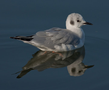 Bonaparte`s Gull   Bolsa Chica Huntington Beah 2010 12 07-1.CR2 (1 of 1).CR2