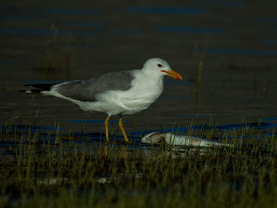California Gull Crowley Lake 2012 05 22 (2 of 3).CR2