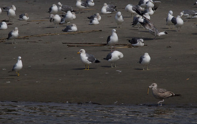 California Gull San Luis River Oceanside 2012 02 24 (1 of 1).CR2
