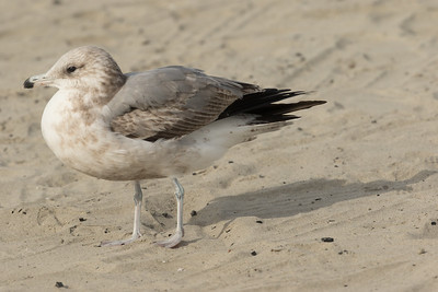 California  Gull Ponto Beach 2016 12 09-1.CR2