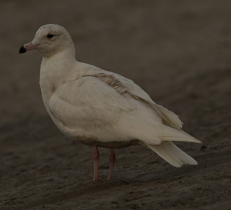 Glaucous Gull Oceanside  2014 02 26-1.CR2