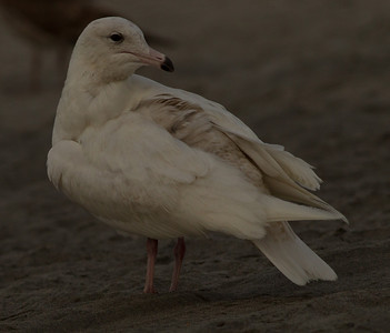 Glaucous Gull Oceanside  2014 02 26-2.CR2