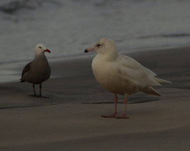 Glaucous Gull  Heerman`s Gull  Oceanside  2014 02 26-1.CR2