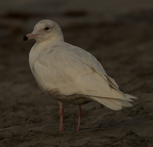 Glaucous Gull Oceanside  2014 02 26-10.CR2