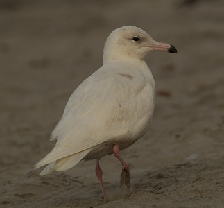 Glaucous Gull Oceanside  2014 02 26-8.CR2