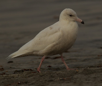 Glaucous Gull Oceanside  2014 02 26-6.CR2